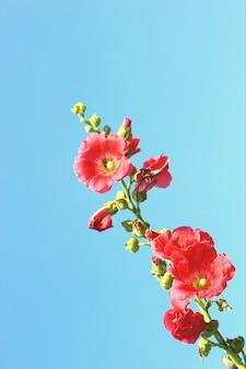 De roze bloesem van de stokroos (althaea-rosea) bloeit met blauwe hemelachtergrond met selectief op de bodembloesem