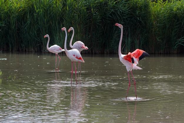 De roze flamingofamilie streek op het water van een meer klaar om vlucht te nemen neer.