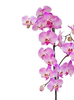De roze grens van de orchideetak die op witte achtergrond wordt geïsoleerd