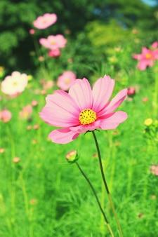 De roze kosmos met groene natuur