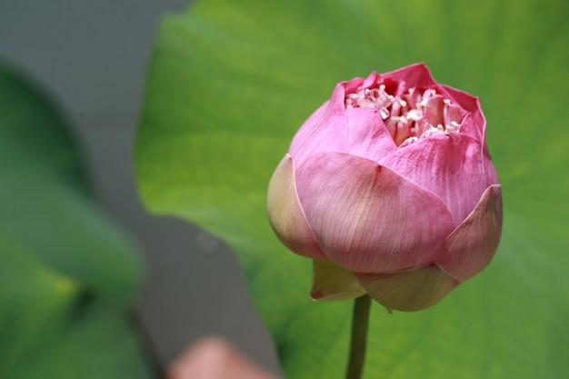 De roze lotus-bloem in het meer, sluit omhoog