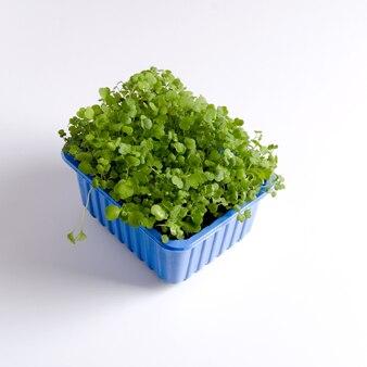 De rukola microgreen in een plastic bakje wordt thuis op de vensterbank gekweekt.