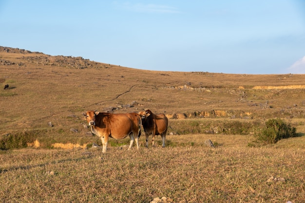 De runderen op de wei eten gras