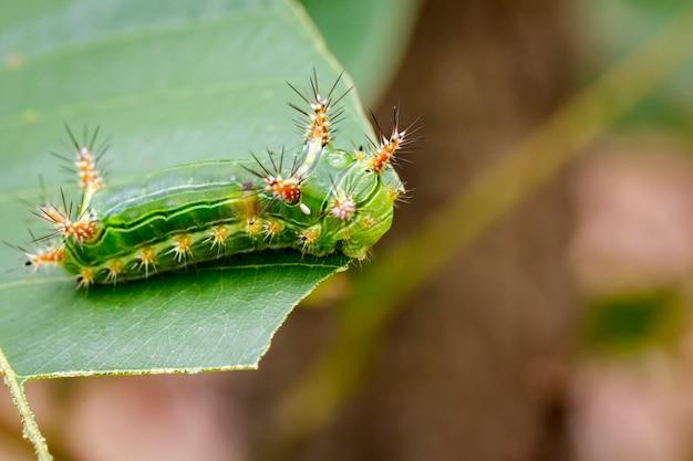 De rups van de brandnetelslak op groen blad