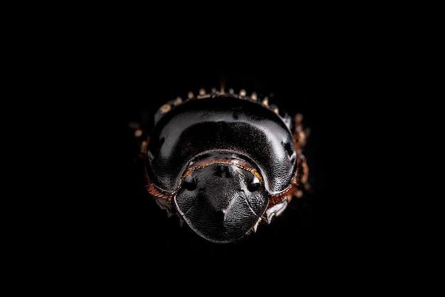 De scarabaeus - mestkever op een witte achtergrond wordt geïsoleerd die.