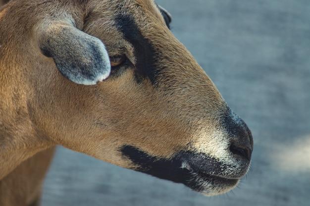De schapen van kameroen portret van in de dierentuin