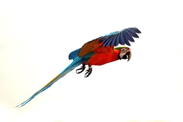 De scharlaken ara ara macao vliegt door in de lucht grote papegaaien vliegen in formatie in de lucht
