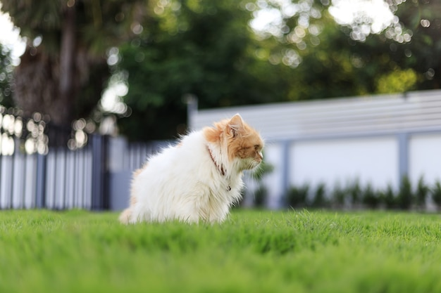 De schattige perzische kat, zittend op het groene grasveld, en op zoek naar iets, selectieve aandacht ondiepe scherptediepte