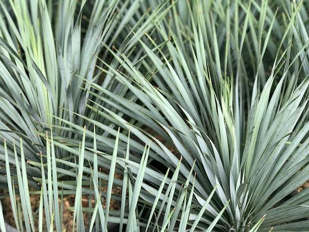 De scherpe bladeren van een palmboom