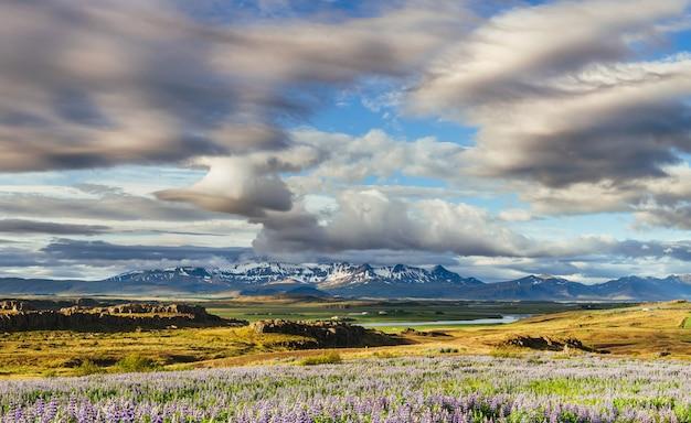 De schilderachtige landschappen van bossen en bergen van ijsland. het wilde blauwe lupine bloeien
