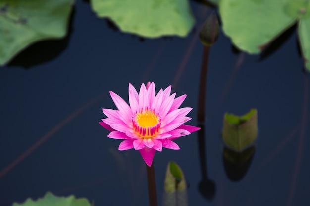 De schoonheid van de lotus in de vijver