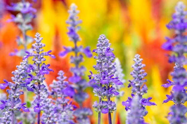 De schoonheid van de paarse bloemen of lavandula angustifolia in de tuin