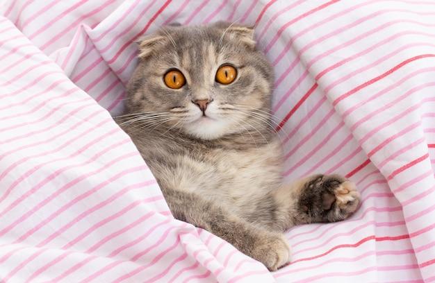 De schotse vouwkat ligt thuis op bed. het huisdier ontspannen op knus bed van baasjes