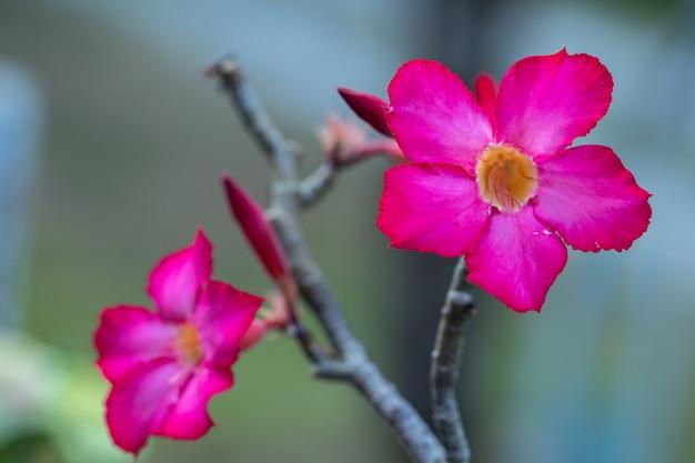 De selectieve obesumbloem van nadruk roze en witte adenium in een tuin.