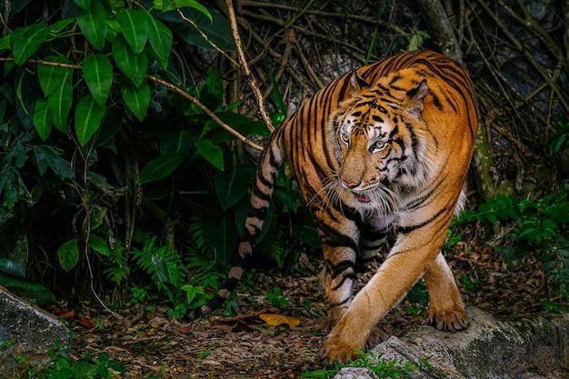 De siberische tijger (panthera tigris tigris) wordt ook wel amur-tijger genoemd