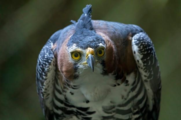 De sierlijke haviksarend (spizaetus ornatus) is een vrij grote roofvogel uit tropisch amerika.