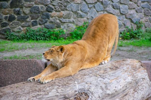 De sierlijke leeuwin woont in een schilderachtige dierentuin.