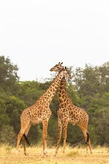 De slag om giraffen in de savanne