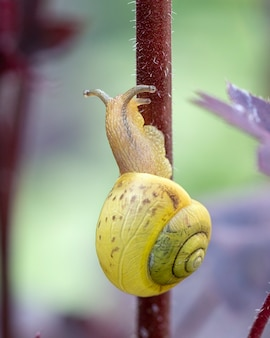 De slak kruipt op het rode heuchera-blad. gardening plant ongedierte