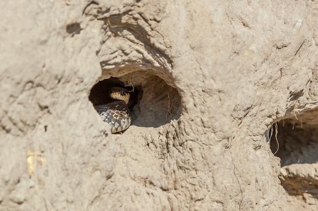 De slangenjaagt zwaluwkuikens in een nest op een zandheuvel. de slang vernietigt de zwaluwnesten