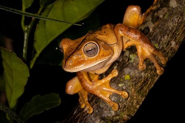 De smid boomkikker, smid treefrog of smid kikker is een kikkersoort in de familie hylidae