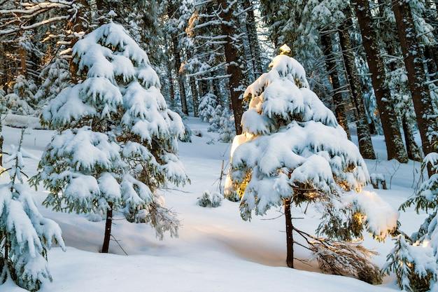 De sneeuw behandelde weinig pijnboomboom in de winterbos