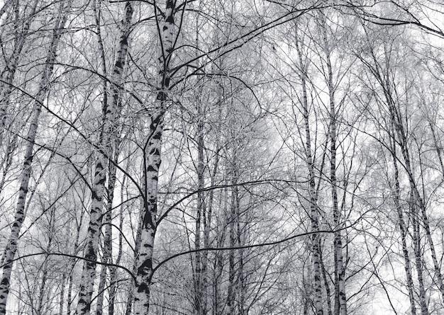 De sneeuwberk vertakt zich zwart-wit