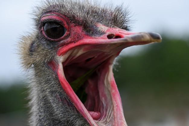 De snuit van een volwassen struisvogel met een open mond, close-up.