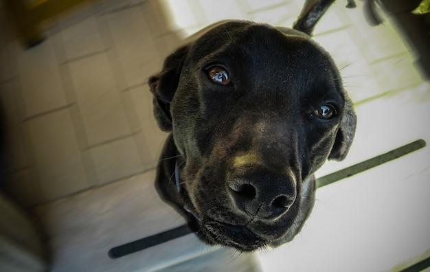 De snuit van een zwarte hond op de voorgrond met de zachte en vriendelijke uitstraling.