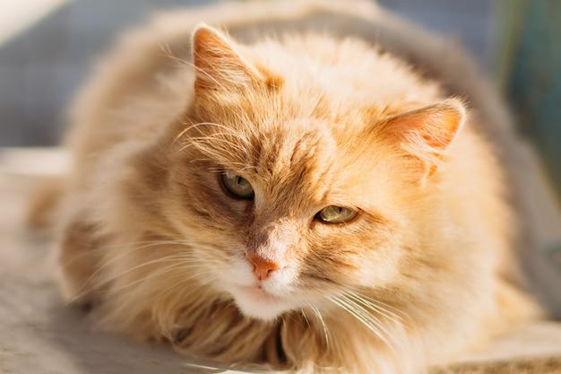 De snuitclose-up van de binnenlandse kat