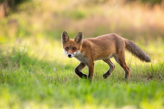 De speelse rode voswelp jacht op een groen hooigebied in de zomeraard