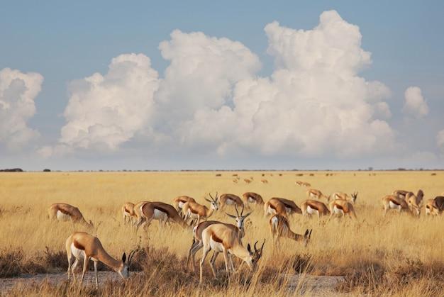 De springbok (antidorcas marsupialis) in de afrikaanse struik, namibië.