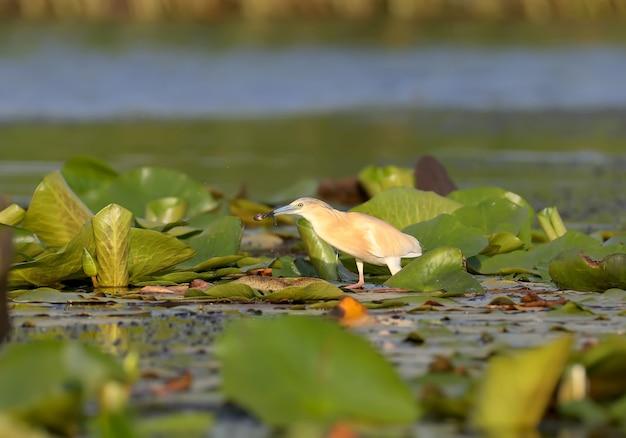 De squacco reiger (ardeola ralloides) staat op de bladeren van waterplanten en kijkt uit naar zijn prooi in de stralen van het zachte ochtendlicht.