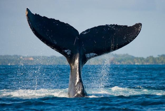 De staart van de bultrug. madagascar. st. mary's island.