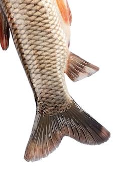 De staart van de viskarper op een witte achtergrond