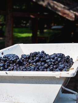 De stadia van de productie van wijn of champagne. de druiven passeren een afscheider, waar de druiven worden ontdaan van twijgen en gemalen sap.