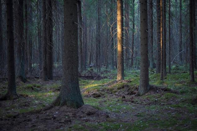 De stam van de spar wordt verlicht door de stralen van de zon in een donker oud naaldbos