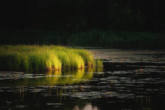 De stralen van de avondzon op het gras dat in het moeras groeit