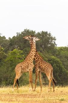 De strijd van giraffen nek in plaats van vuisten en tanden maasai mara afrika