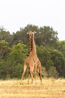 De strijd van giraffen nek in plaats van vuisten en tanden