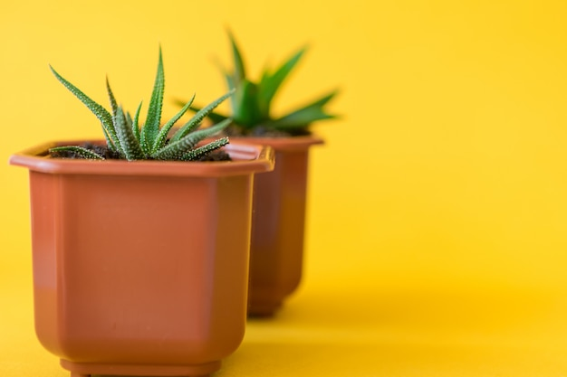 De succulente kleine spruiten van de huisinstallatie op een gele achtergrond