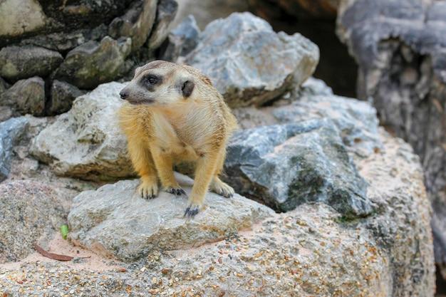 De suricata-suricatta of meerkat op de rots