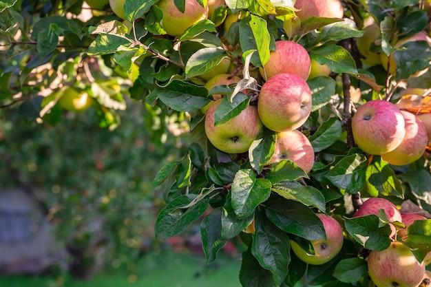 De tak is bezaaid met close-up van rode appels
