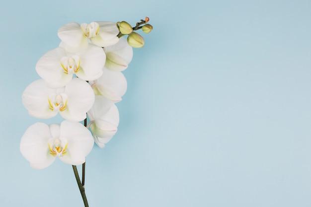 De tak van zuivere witte orchideebloem op blauwe achtergrond