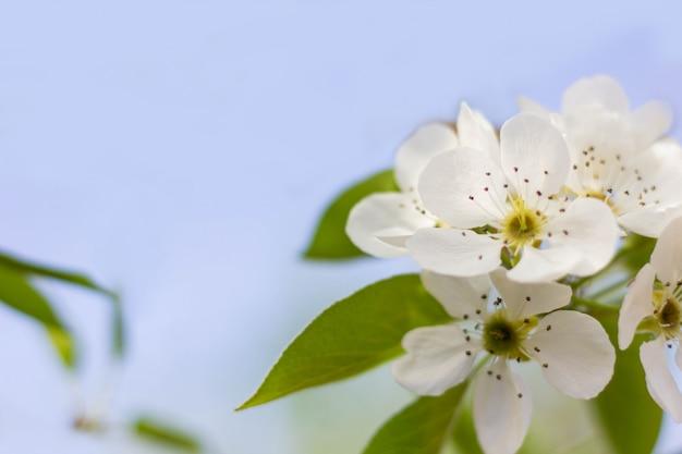 De takken van de appelboom zijn bedekt met witte bloemen en groene bladeren tegen een blauwe lucht. achtergrond met bloemen op een lentedag.