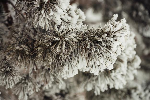 De takken van de naaldboom bedekt met sneeuw.
