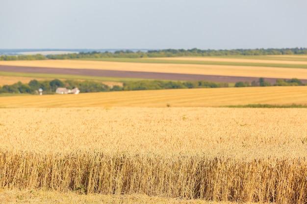 De tarwevelden in zonnige zomerdag