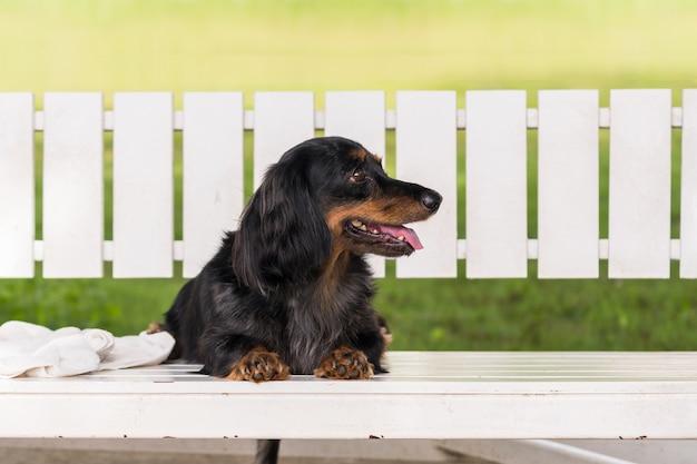 De teckelhond in bruin met zwarte kleurenzitting