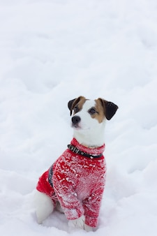 De terriër van jack russell in een rode sweater zit in de sneeuw. jack russell terrier-het stellen, close-up. rasechte jack russell terrier-hond voor gang op de winterdag. gelukkige hond zit in park. hond lacht