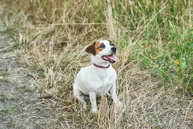 De terriër van russell van de hondhefboom op het gras